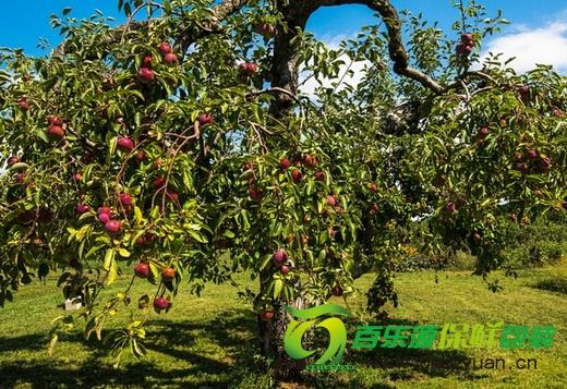 秋季:论果树施用基肥的重要性