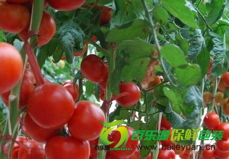 番茄病害防治技术 防治番茄四大病害